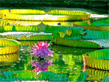 lilies160