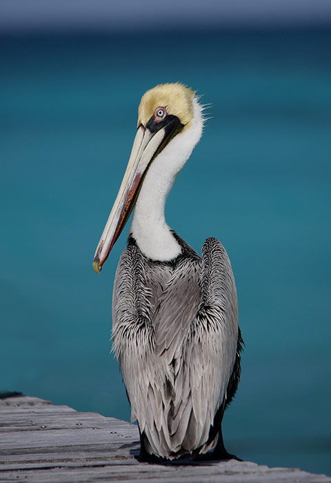 Brown Pelican on a dock by the ocean in Cancun