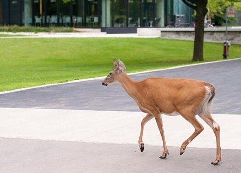 UTM deer_480