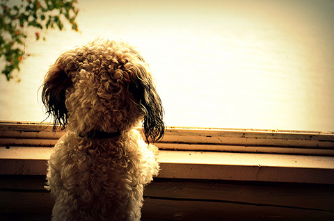 Photo of Ben the dog staring out a window