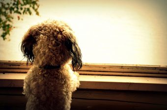 Photo of Ben the dog staring out a window. Photo by Prasanta Bose