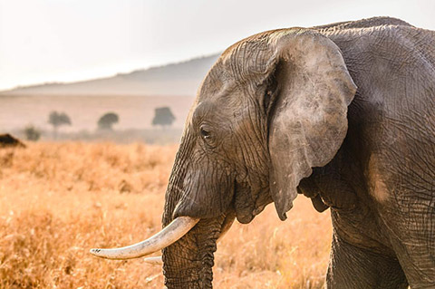 Side profile photo of an elephant in Kenya.