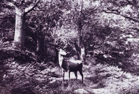 B&W photo of a buck