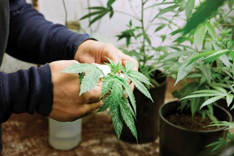 Photo of hands holding a cannabis plant.