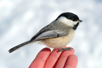 Photo of a chickadee.