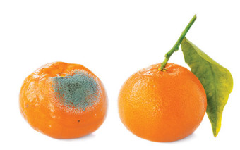 Photo of a rotten orange.