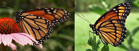 Monarch butterfly (left) and Viceroy butterfly (right). Photo: PiccoloNamek and Derek Ramsey/Wikipedia.