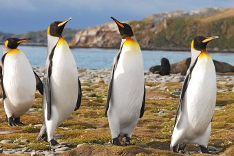 Four king penguins walking. Photo by Maria Clauss.