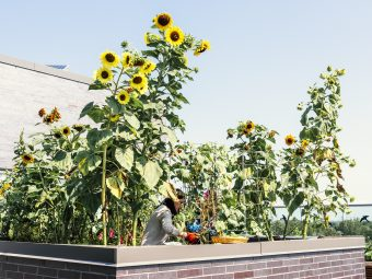 Photo of sunflowers on the roof of a U of T building