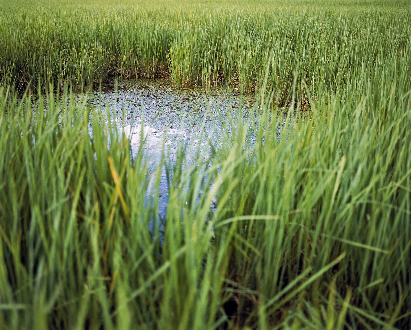 Close up photo of pond surrounded by tall grass