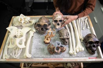 Hominin skulls and bones laid out on a tray; one skull is being held up by someone