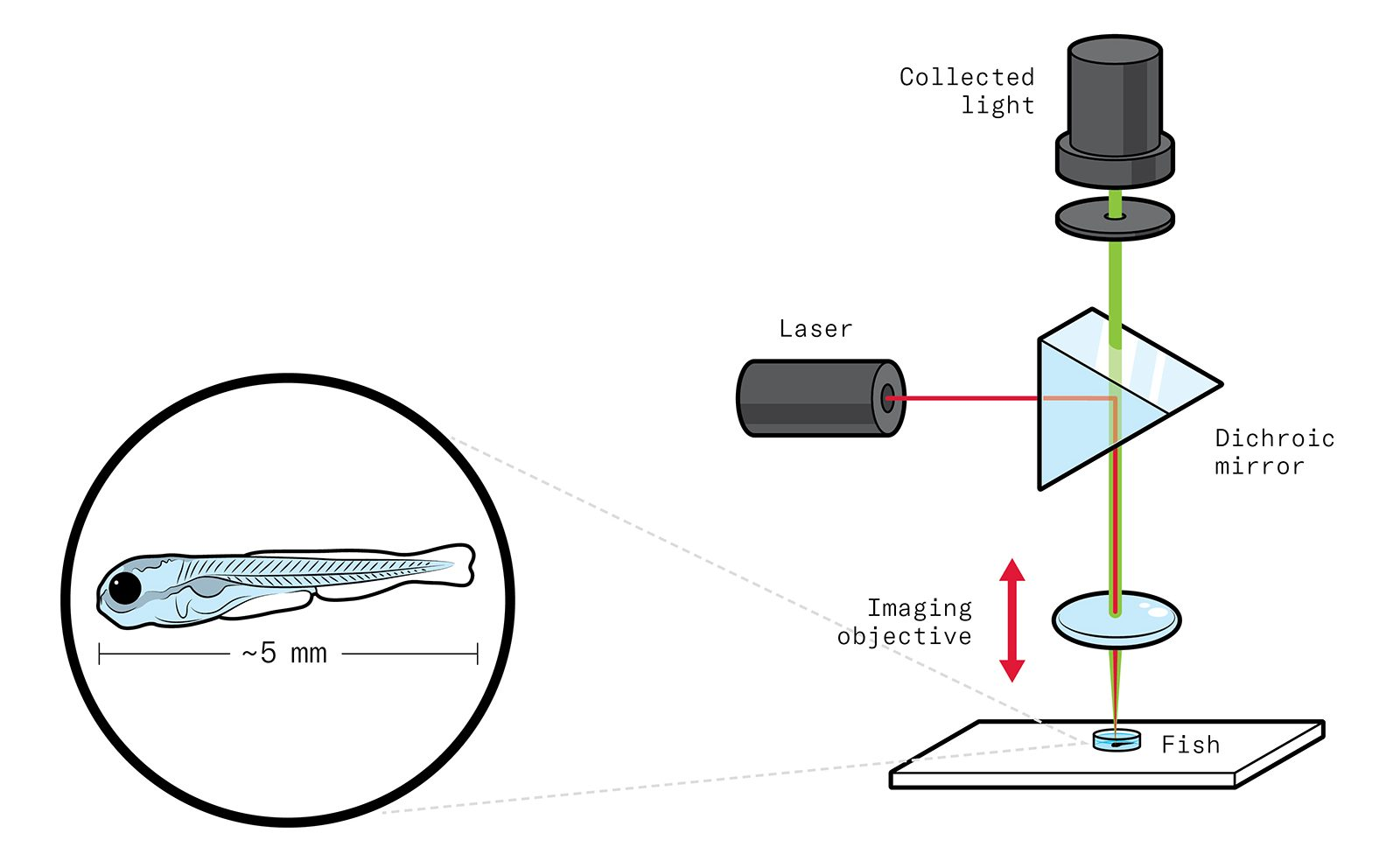 Illustration of the larval fish on a plate, and a light source passing through a lens above the plate and a dichroic mirror above the lens. A laser is hitting the mirror horizontally, with the collected light at the top