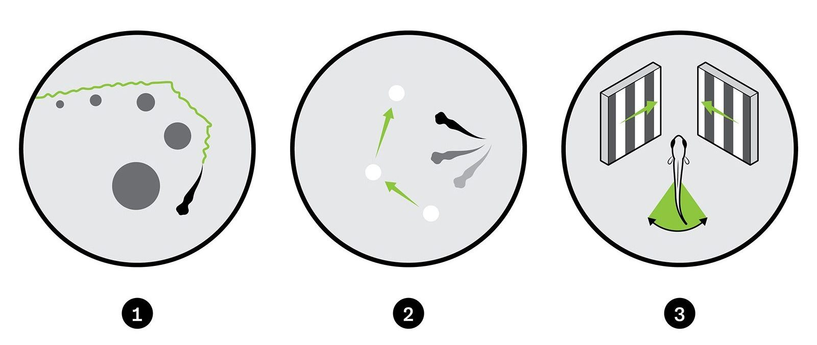 Illustration of three experiments: 1. Zebrafish shape swimming past dark circles increasing progressively in size. 2. Small white circles with one-directional green arrows in between and three zebrafish shapes facing each circle. 3. A zebrafish facing and pivoting between two squares of black and white vertical lines angled up towards the centre