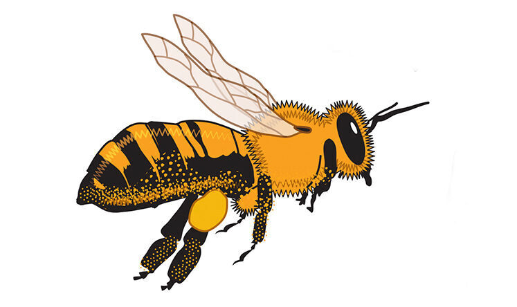 Bee with a yellow body and black stripes at the bottom end