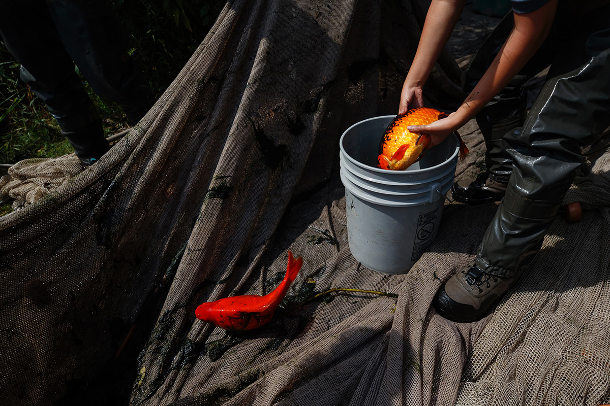 Researcher placing a goldfish in a bucket